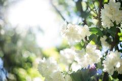 Flores brancas e raio de luz Fotos de Stock Royalty Free