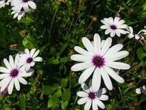 Flores brancas e roxas imagem de stock