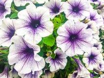 Flores brancas e roxas Imagens de Stock