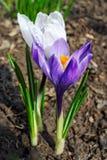 Flores brancas e roxas do açafrão Imagens de Stock Royalty Free