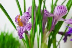 Flores brancas e roxas do açafrão da mola Imagens de Stock