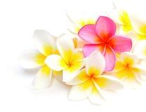 Flores brancas e roxas do Frangipani Fotografia de Stock Royalty Free