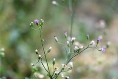 Flores brancas e roxas pequenas Fotos de Stock Royalty Free