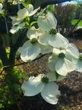 Flores brancas e verdes na mola Imagem de Stock
