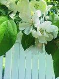 Flores brancas e verdes na mola Fotografia de Stock Royalty Free