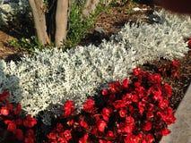 Flores brancas e vermelhas ao lado do passeio Imagem de Stock