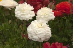 Flores brancas e vermelhas do ranúnculo Fotografia de Stock Royalty Free