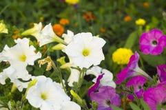 Flores brancas e violetas Foto de Stock