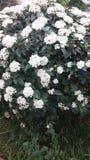 Flores brancas em ruas de Grécia foto de stock