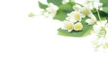 Flores brancas em um fundo branco Fotografia de Stock