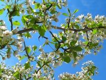 Flores brancas em um fundo do céu azul imagens de stock