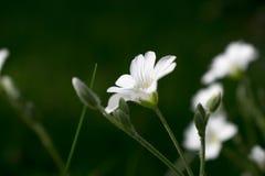 Flores brancas em um gramado da floresta Fotografia de Stock Royalty Free