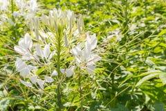 Flores brancas em um jardim Fotografia de Stock Royalty Free
