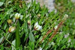 Flores brancas em um prado alpino no verão Foto de Stock