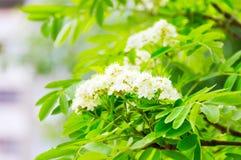 Flores brancas em uma árvore Foto de Stock