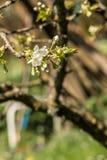 Flores brancas em uma árvore no campo verde Fotografia de Stock