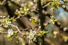 Flores brancas em uma árvore no campo verde Foto de Stock Royalty Free