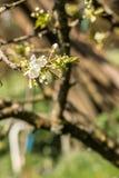 Flores brancas em uma árvore no campo verde Fotos de Stock Royalty Free