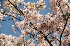 Flores brancas em uma árvore no campo verde Fotos de Stock