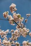 Flores brancas em uma árvore no campo verde Imagens de Stock
