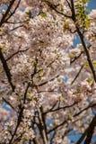 Flores brancas em uma árvore no campo verde Imagens de Stock Royalty Free