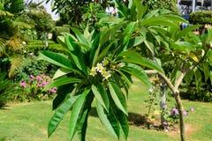 Flores brancas em uma árvore em um jardim tropical Imagem de Stock Royalty Free