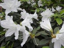 Flores brancas, flores Árvore de florescência na primavera Flores brancas, branco das azáleas, camélias Mola, flores Florescência Imagem de Stock