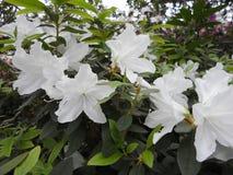 Flores brancas, flores Árvore de florescência na primavera Flores brancas, branco das azáleas, camélias Mola, flores Florescência Fotos de Stock