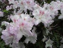 Flores brancas, flores Árvore de florescência na primavera Flores brancas, branco das azáleas, camélias Mola, flores Florescência Imagens de Stock Royalty Free