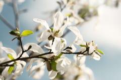 Flores brancas grandes bonitas Fotografia de Stock