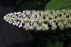 Flores brancas grandes no jardim em um fundo preto Imagem de Stock