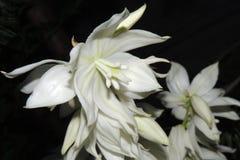 Flores brancas grandes no jardim em um fundo preto Imagem de Stock Royalty Free