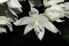 Flores brancas grandes no jardim em um fundo preto Fotografia de Stock