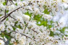 Flores brancas minúsculas na ameixoeira-brava ou no Sloe Foto de Stock Royalty Free
