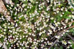 Flores brancas muito pequenas da mola Close-up floral do macro do fundo Fotografia de Stock Royalty Free