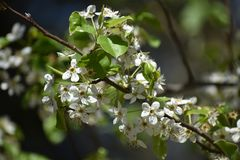 Flores brancas na árvore imagem de stock