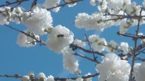 Flores brancas na árvore no céu azul com abelhas video estoque
