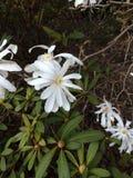 Flores brancas na mola Imagens de Stock Royalty Free