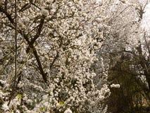 Flores brancas na mola que pendura em árvores na mola Fotografia de Stock