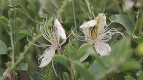 Flores brancas na natureza do campo, campo, branco, fundo, bonito, flor, grama, vídeos de arquivo