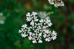 Flores brancas no banco com folhas Fotografia de Stock