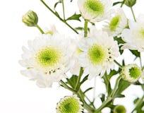 Flores brancas no branco Fotos de Stock Royalty Free