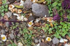 Flores brancas no fundo à terra Ilha tropical Bali, Indonésia Imagens de Stock Royalty Free