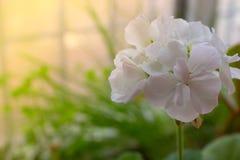 Flores brancas no fundo da grama verde Imagens de Stock