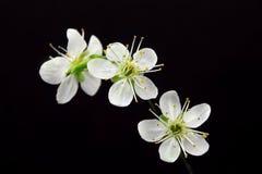 Flores brancas no fundo preto Fotos de Stock