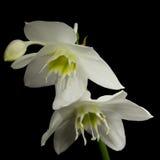 Flores brancas no fundo preto Imagens de Stock Royalty Free