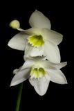 Flores brancas no fundo preto Fotos de Stock Royalty Free