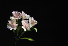 Flores brancas no fundo preto Fotografia de Stock