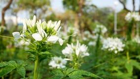 Flores brancas no jardim e no córrego fotos de stock royalty free