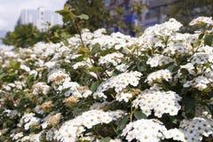Flores brancas no parque na cidade Imagens de Stock Royalty Free